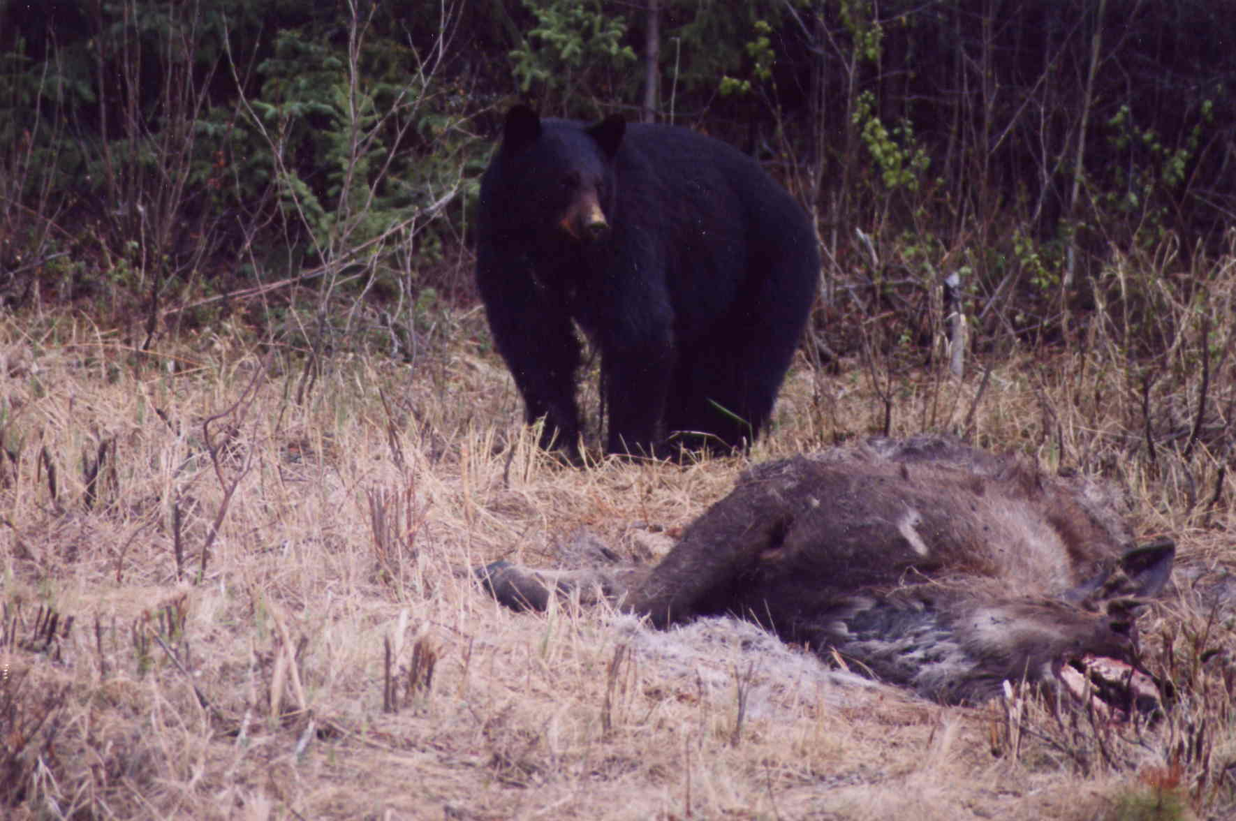 Black Bear Feasting on a Elk